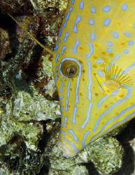 Scrawled Filefish from Little Cayman Island. Jim was reco... by Deborah Chambers