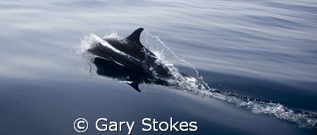 Lone Spinner Dolphin ahead of the pod by Gary Stokes