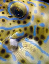 Scrawled/Scribbled filefish by Martin Dalsaso