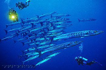 Sulawesi - Manado - Barracudas - COMPOSING > Divers - Nik... by Manfred Bail