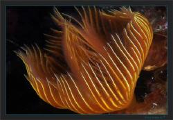 Protula tubularia, in an orange dress by Sven Tramaux