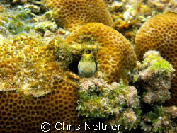barred chin blenny by Chris Neltner