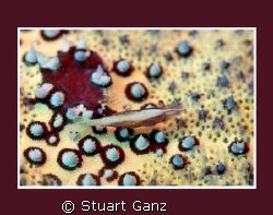 Pin cushion shrimp by Stuart Ganz