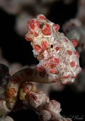 Hippocampus bargibanti - Pygmy seahorse, Nikon D300, Nikk... by Michael Henke