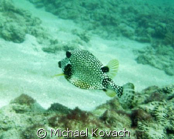 Honeycomb Cowfish on the Inside Reef at Lauderdale by the... by Michael Kovach