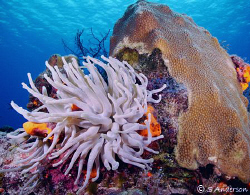 The Giant Anemone found on every other coral head off the... by Steven Anderson