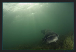 A huge wels catfish, crossing my path by Sven Tramaux