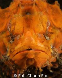 Mr Grumpy! Stonefish looking at my lens, Lembeh, North Su... by Fatt Chuen Foo