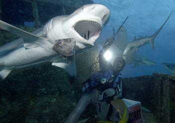 Shark Symphony.......Bahama Mama wreck, Bahamas - D100. by Claudia Pellarini