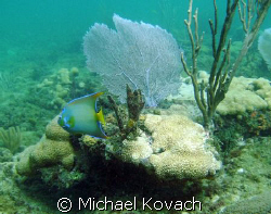Queen Angelfish on the Inside Reef at Lauderdale by the Sea by Michael Kovach