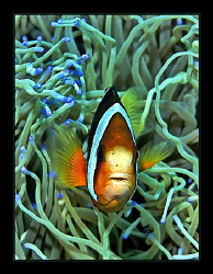 """Clark's Anemonefish"" met at Dauin, Philippines (50mm macro) by Henry Jager"