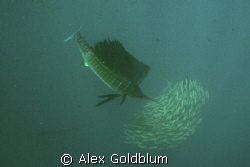 Sailfish shot off 50 miles north of Isla Mujeres, Mexico.... by Alex Goldblum