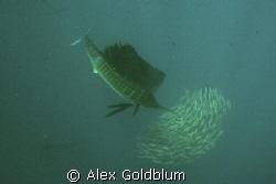 Sailfish shot off 50 miles north of Isla Mujeres, Mexico.... by Alex Goldblum