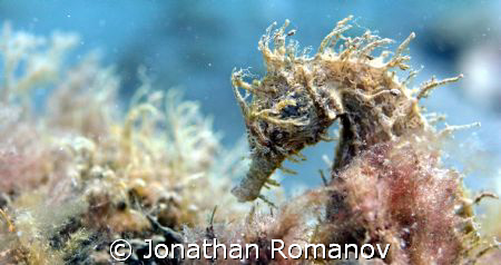 Seahorse taken at Blue Heron Bridge with Canon 20D with 5... by Jonathan Romanov