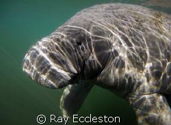 Manatee up close.Taken at Crystal River FL. by Ray Eccleston