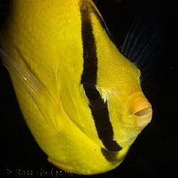 Oval-spot Butterflyfish.  Ningaloo Reef, Western Australi... by Ross Gudgeon