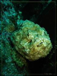 A False Stone fish which nearly got my attention in the w... by Allen Walker