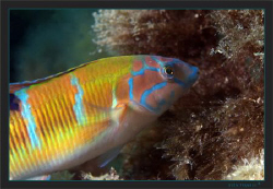 Ornate wrasse (Thalassoma pavo) looking for food by Sven Tramaux