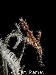 Ornate Ghost Pipefish with white chrinoid by Gary Ramey