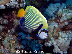Emperor Angelfish by Beate Krebs