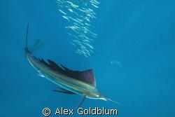 Sailfish hunting Sardines by Alex Goldblum