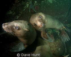 Juvenile sea lions posing for the camera. I think they se... by Dave Hunt