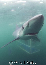 blue shark with the cage behind by Geoff Spiby