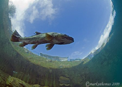 Brown trout - cold clear waters of Capernwray. Jan 09, t... by Mark Thomas