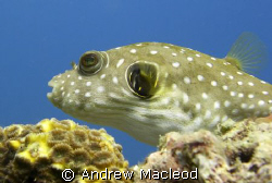 A puffer.. waiting. The background is natural and unedite... by Andrew Macleod