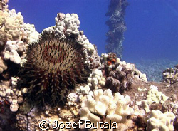 Crown of thorns sea star by Jozef Butala