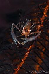 Shrimp (Palaemonella pottsi) on a feather star. Nikon D30... by Michael Henke