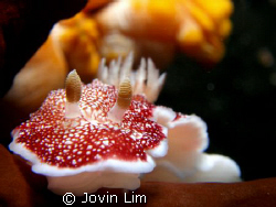 Red & white dorid nudibranch (chromodoris reticulata) tak... by Jovin Lim