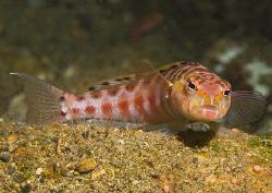 Red-Spotted Sandperch (Parapercis schauinslandi). Anilao,... by Jim Chambers
