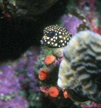 Juvenile Smooth Trunkfish taken in Roatan, Honduras w/hou... by Beverly Speed
