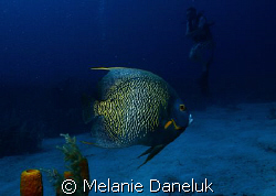 French Angelfish with diver by Melanie Daneluk