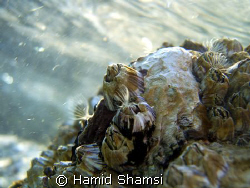 Persian Gulf Life by Hamid Shamsi