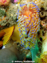 A gas flame Nudibranch (Janolus Nakaza) taken at Crossrod... by Anthony Wooldridge
