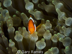 Small Nemo by Gary Ramey