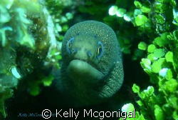 Golden Tail Moray, Roatan Honduras by Kelly Mcgonigal