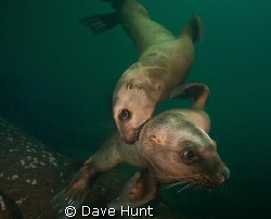 A couple juvenile sea lions come in for a close look.  Ho... by Dave Hunt