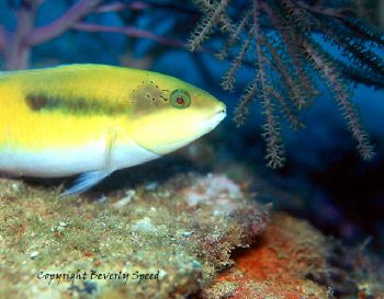 Juvenile bluehead wrasse taken in Grand Cayman with house... by Beverly Speed