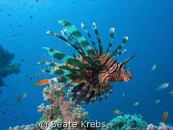 Lionfish by Beate Krebs