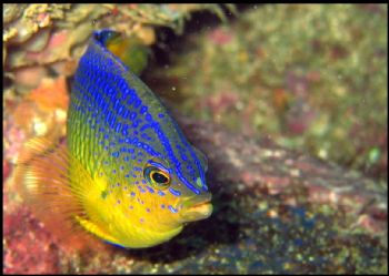 A Damselfish, from Arvodero Marine Biological Reserva, So... by Athila Bertoncini