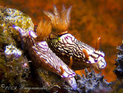 """""""Nudibranch Race"""", that the fastest may win ;-) (Hypselod... by Marco Waagmeester"""