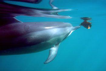 Hawaiian spinner dolphin in Pokai Bay, Waianae, playing w... by Charles Harvey