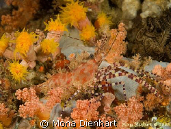Marbeled shrimp on a night dive in Pulisan by Mona Dienhart