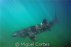Whale shark. by Miguel Cortes