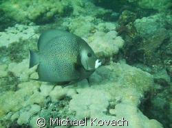 Angelfish on the Inside Reef at Lauderdale by the Sea by Michael Kovach