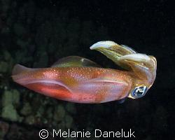 Jewel of the night. Big-fin reef squid. Followed this bea... by Melanie Daneluk