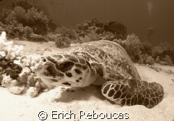 Dave, the turtle. The famous turtle in Ras Mohamed park.... by Erich Reboucas